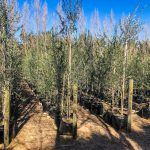 4 Olive Trees