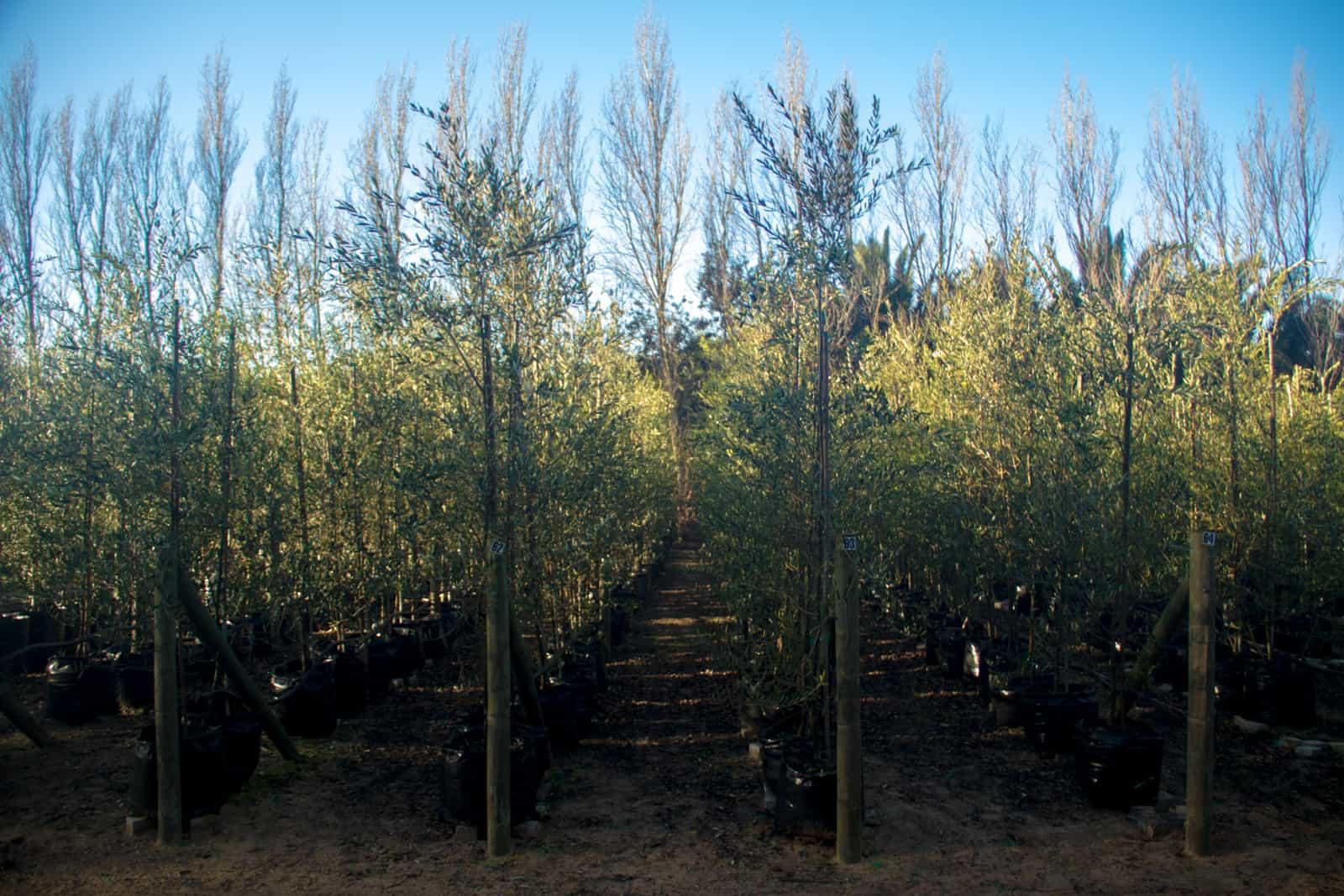 Trees4Sale Olive Trees 01