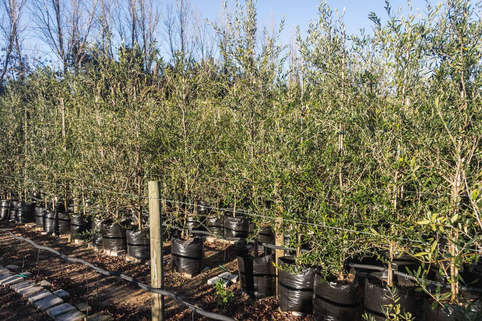 Trees4Sale Olive Trees 02