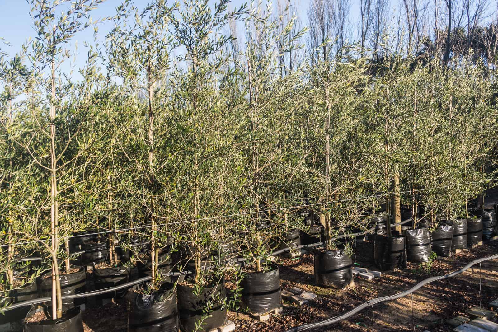 Trees4Sale Olive Trees 03