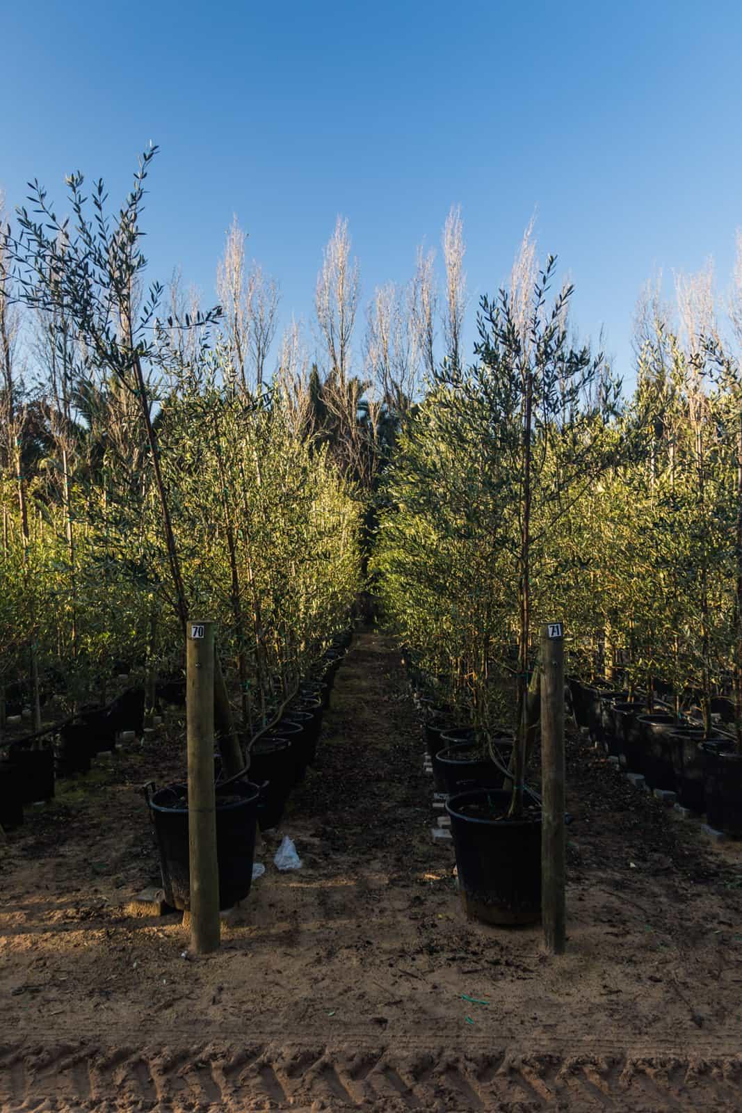 Trees4Sale Olive Trees 05