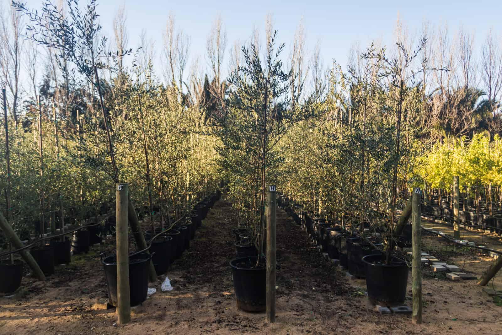 Trees4Sale Olive Trees 06