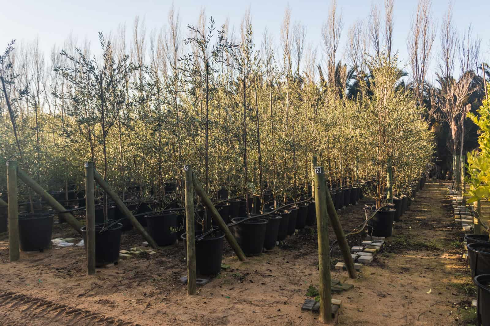 Trees4Sale Olive Trees 07