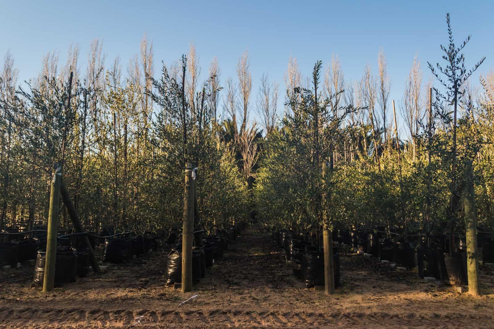 Trees4Sale Olive Trees 08