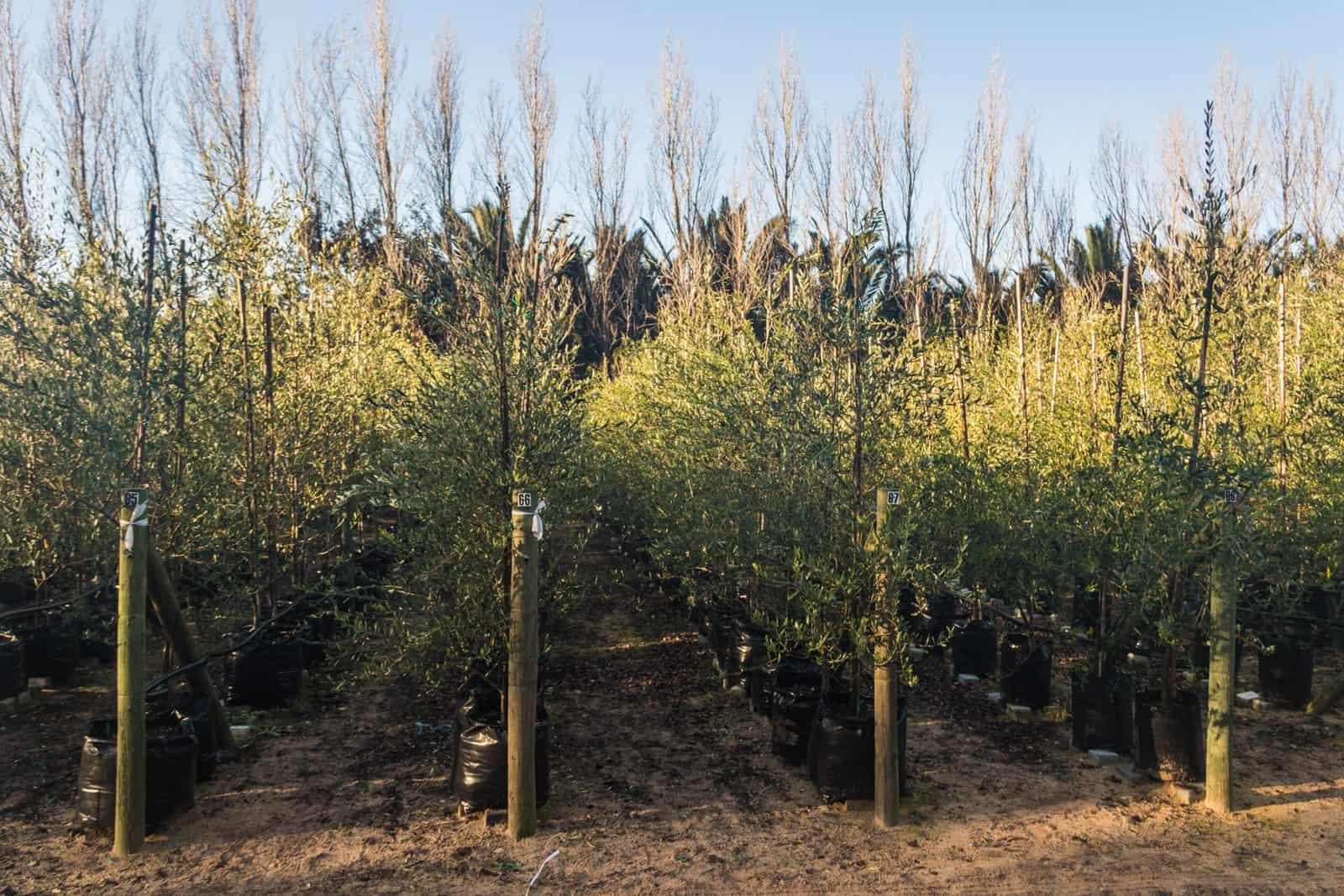 Trees4Sale Olive Trees 09