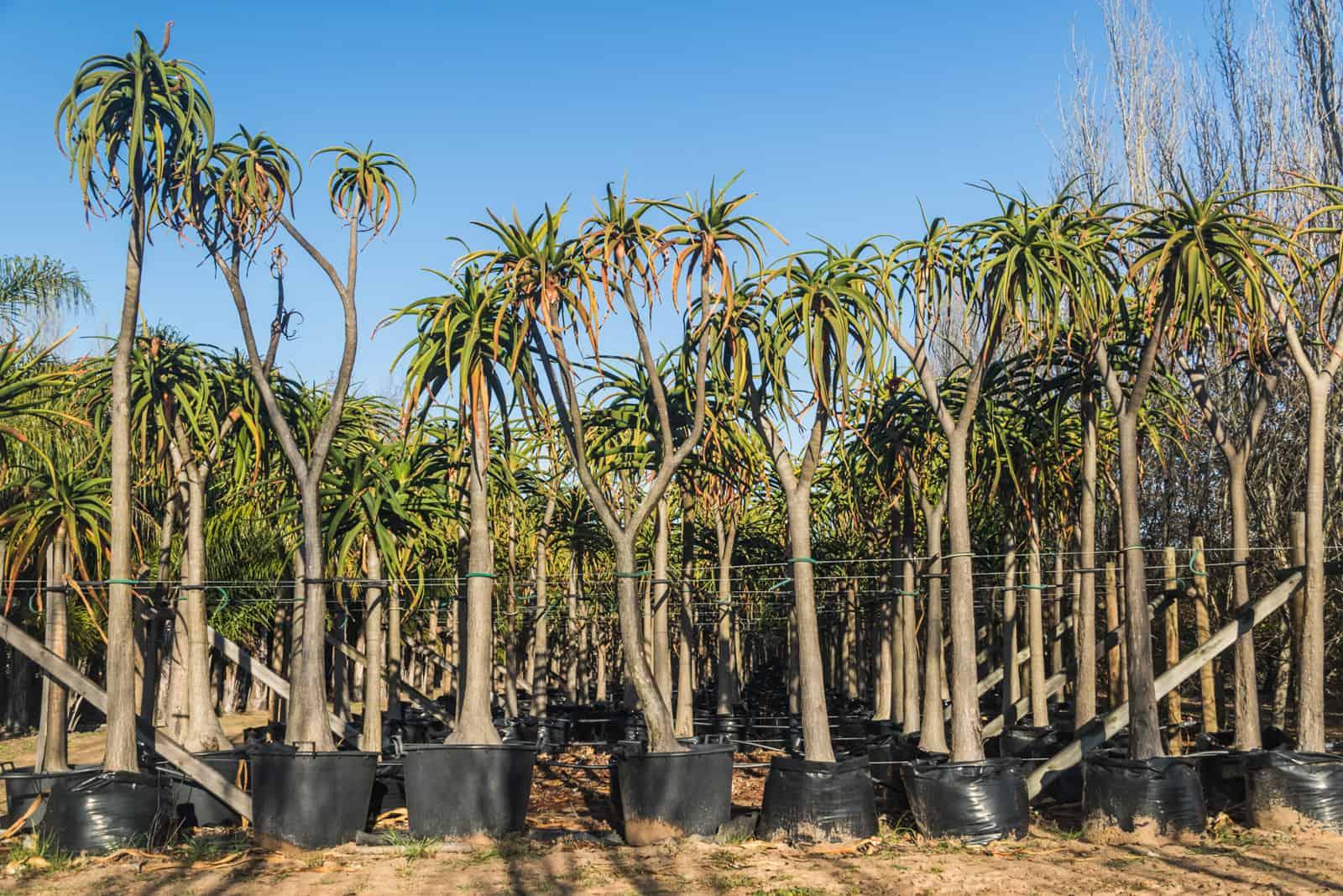 Trees4Sale Tree Aloes 03