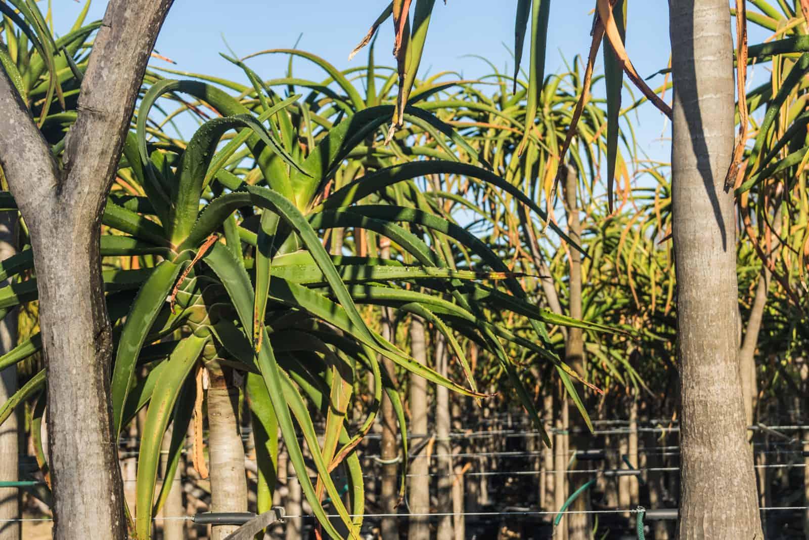 Trees4Sale Tree Aloes 05