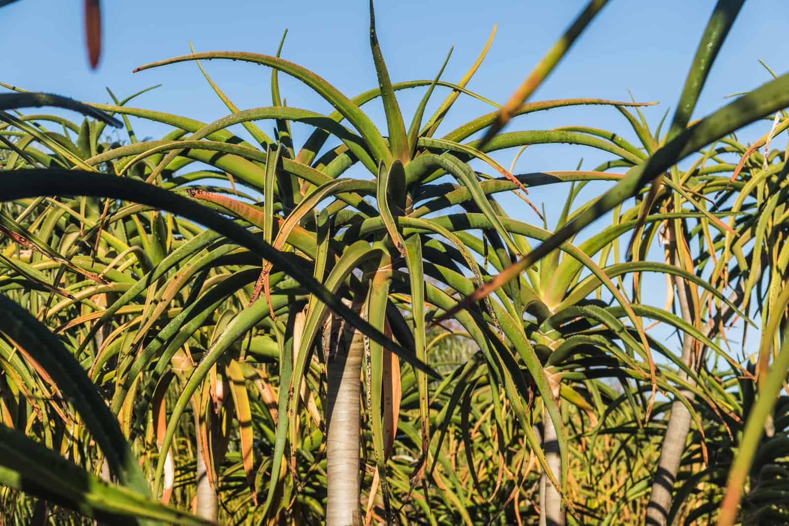 Trees4Sale Tree Aloes 07