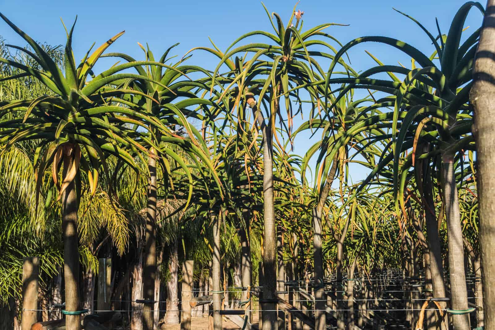 Trees4Sale Tree Aloes 10