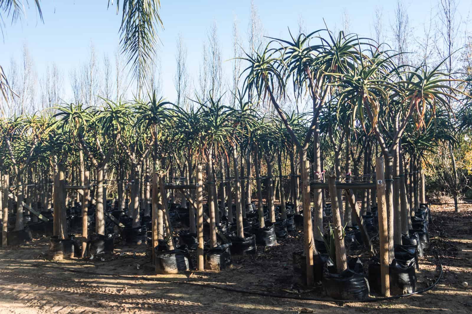 Trees4Sale Tree Aloes 14