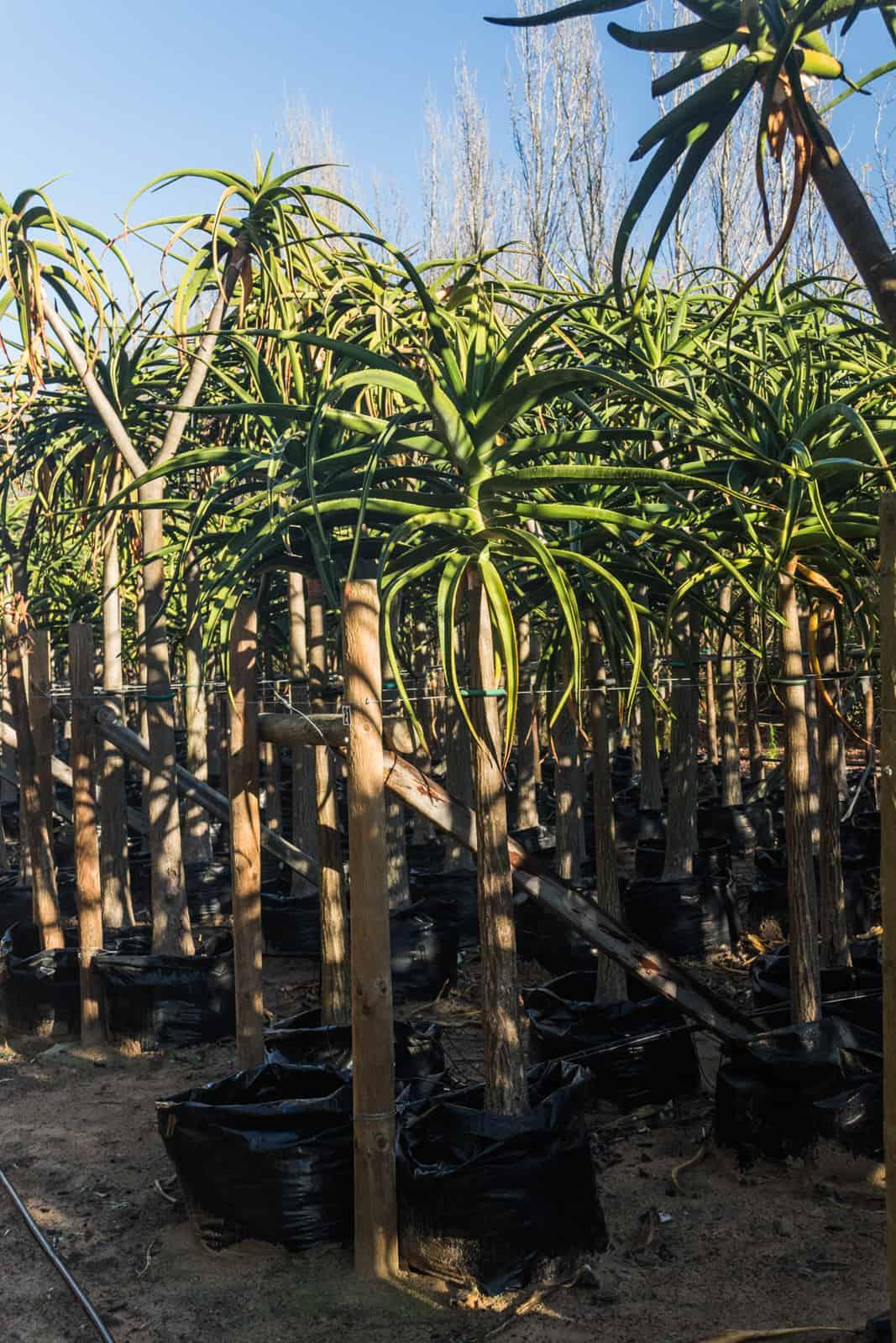 Trees4Sale Tree Aloes 17