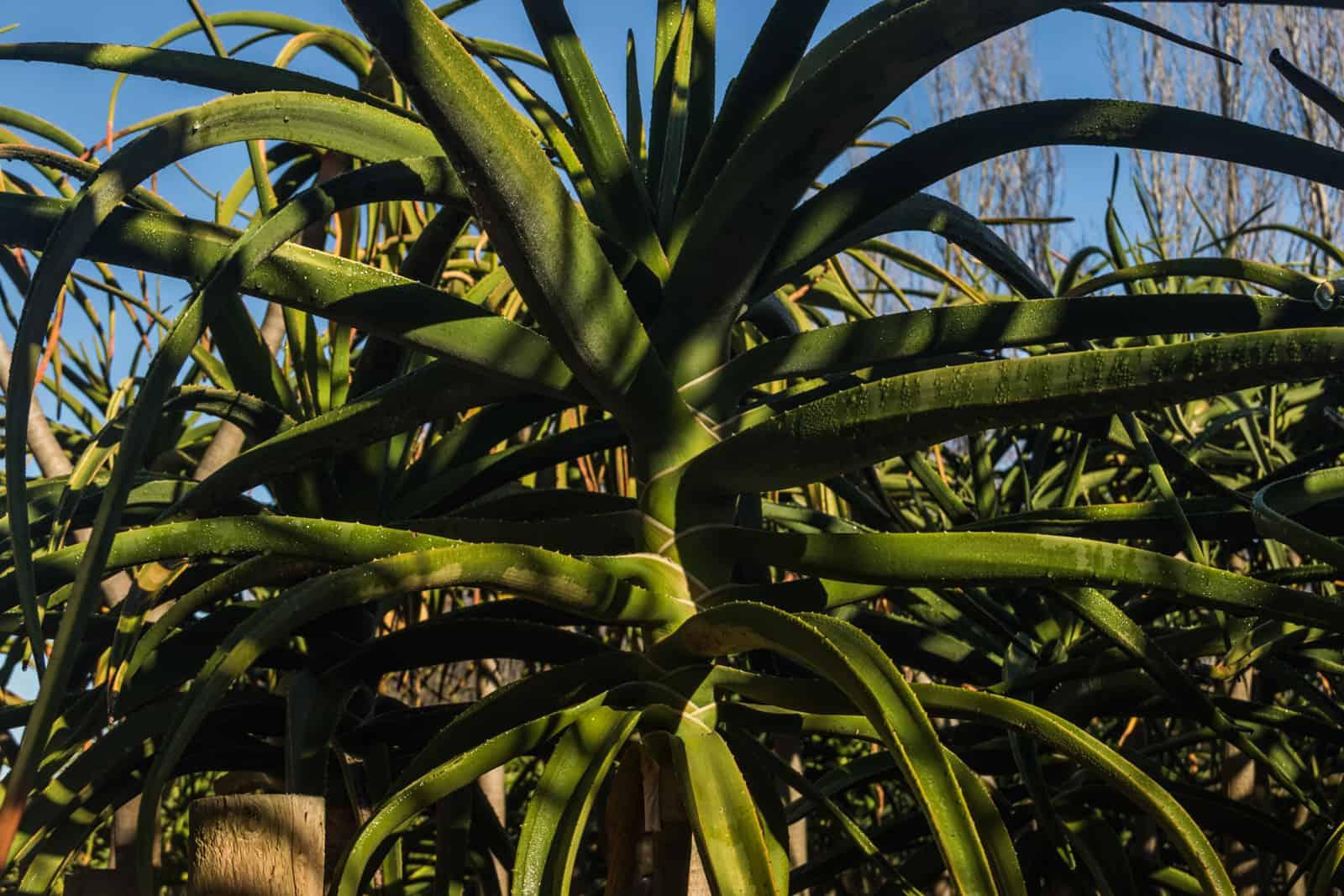 Trees4Sale Tree Aloes 19