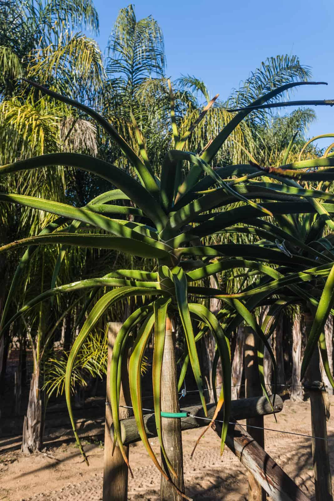 Trees4Sale Tree Aloes 22