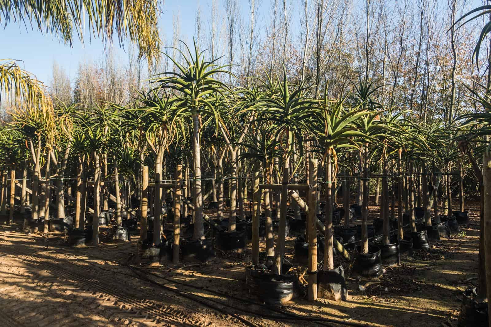 Trees4Sale Tree Aloes 28