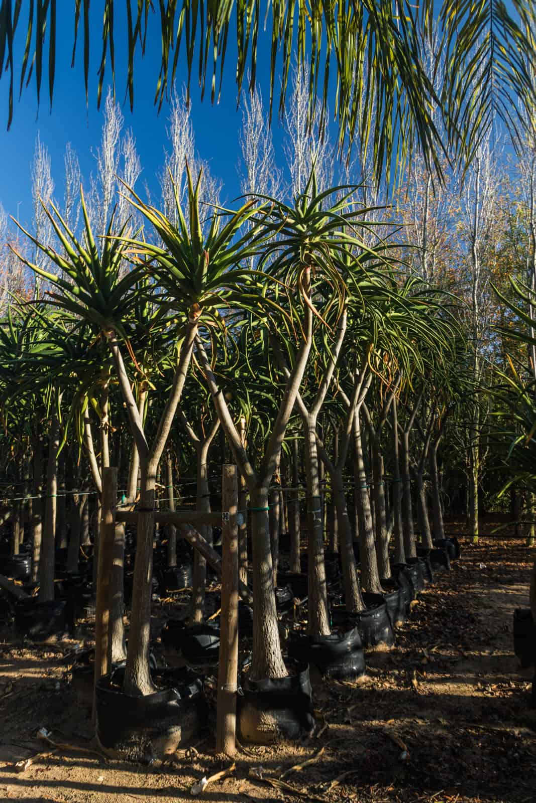 Trees4Sale Tree Aloes 30