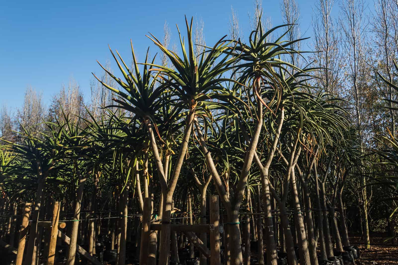 Trees4Sale Tree Aloes 32