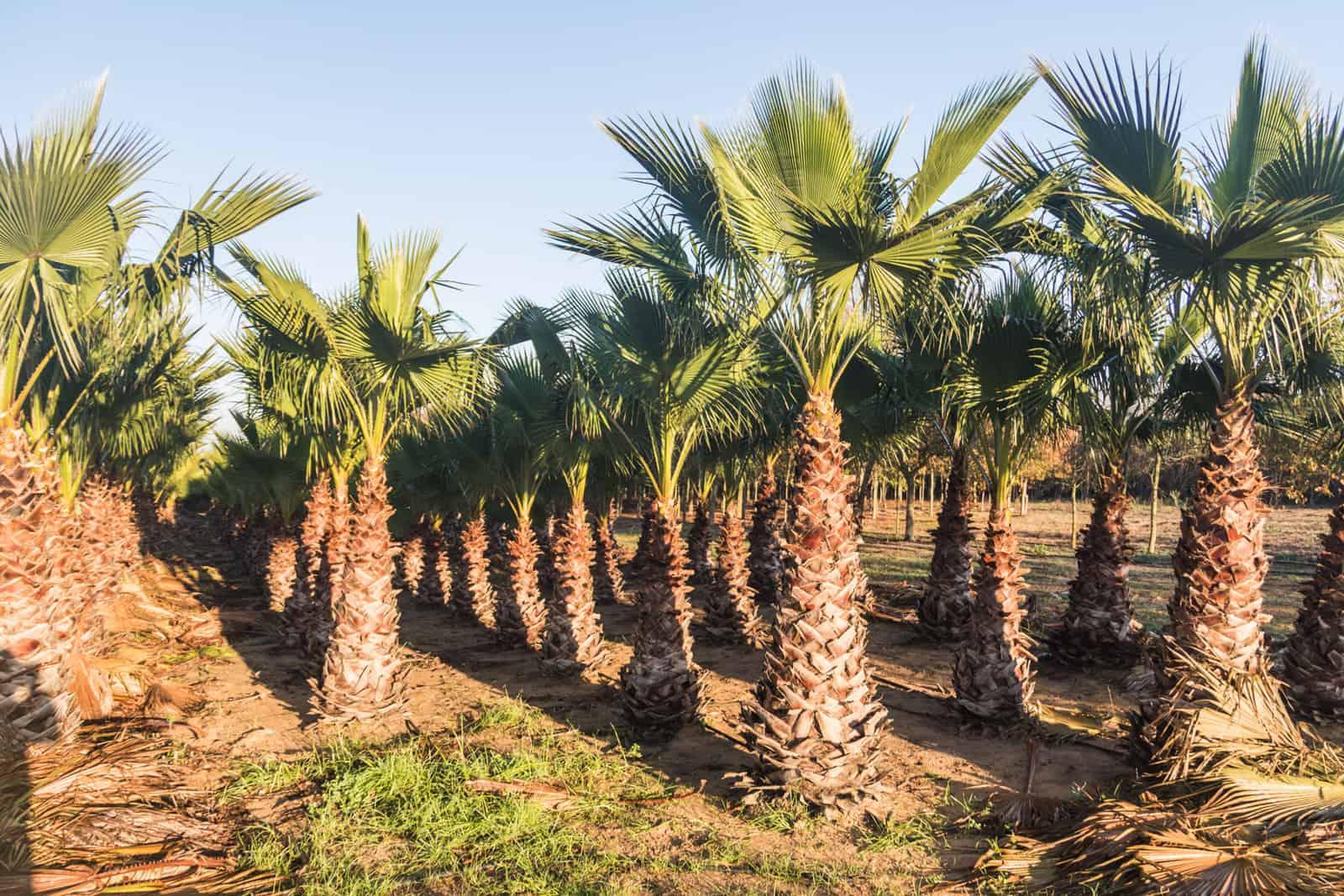 Trees4Sale Washingtonia Palms 03