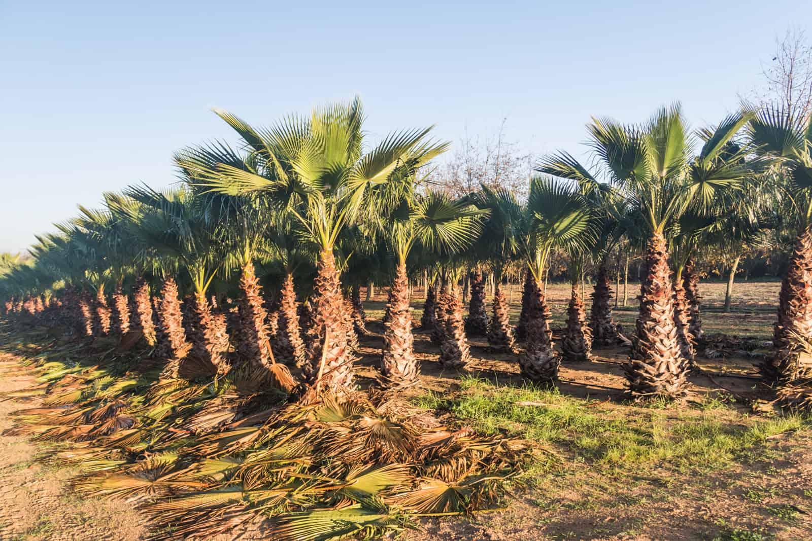 Trees4Sale Washingtonia Palms 05