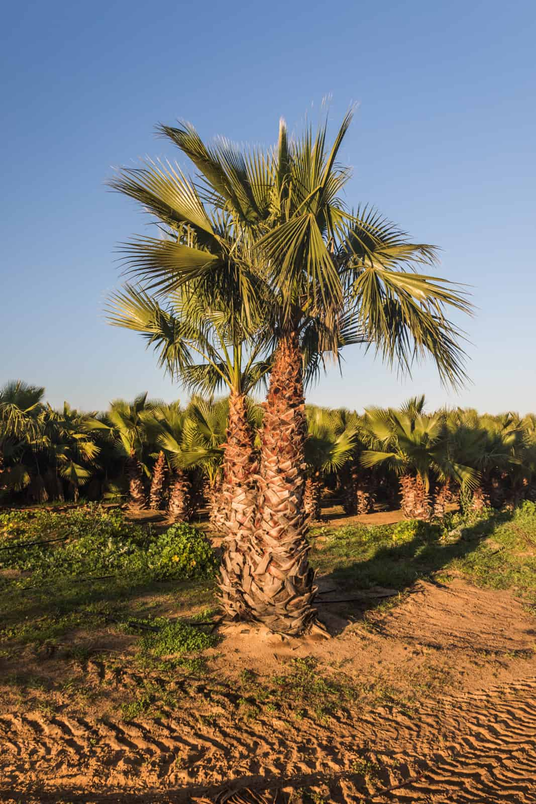 Trees4Sale Washingtonia Palms 06