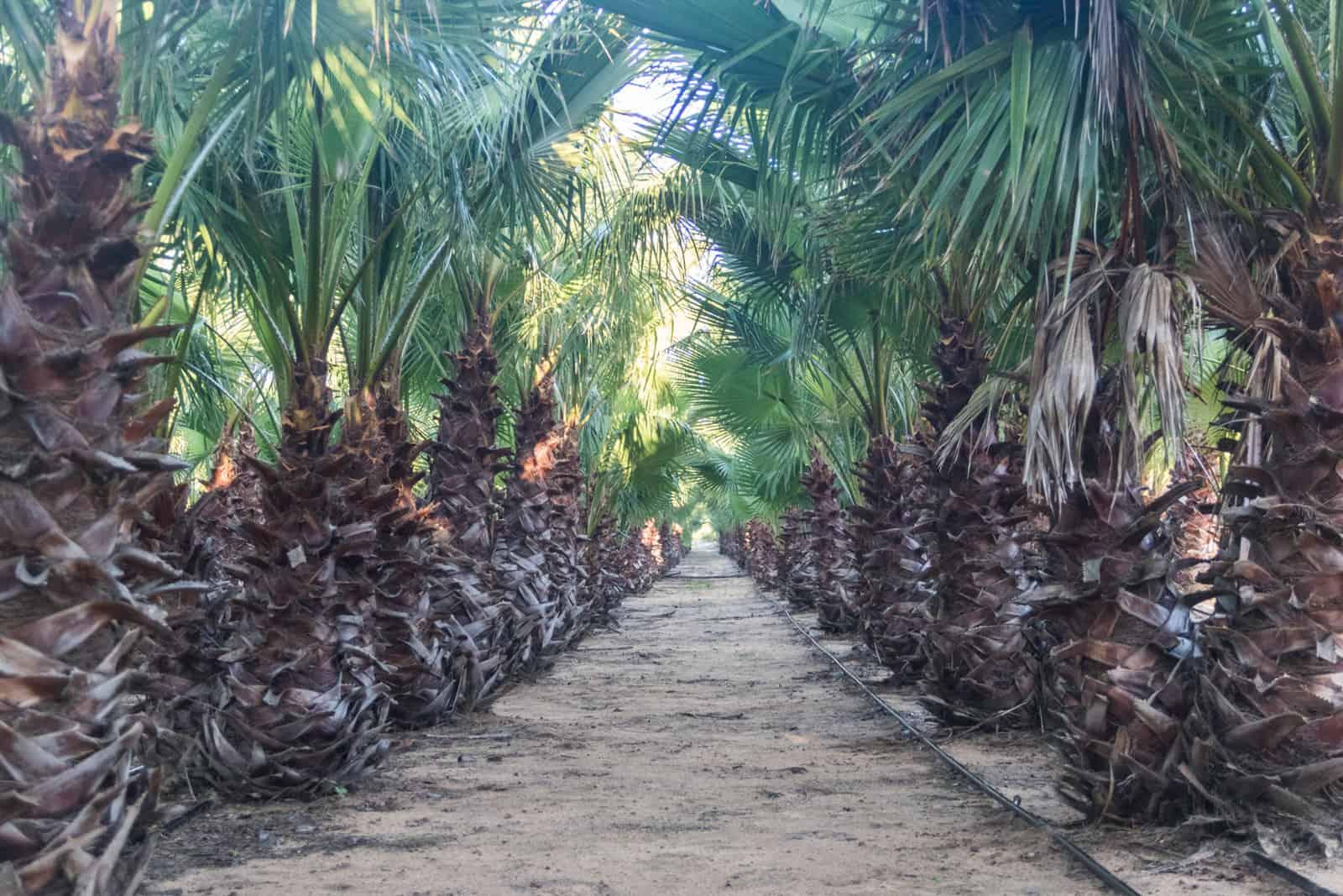 Trees4Sale Washingtonia Palms 12