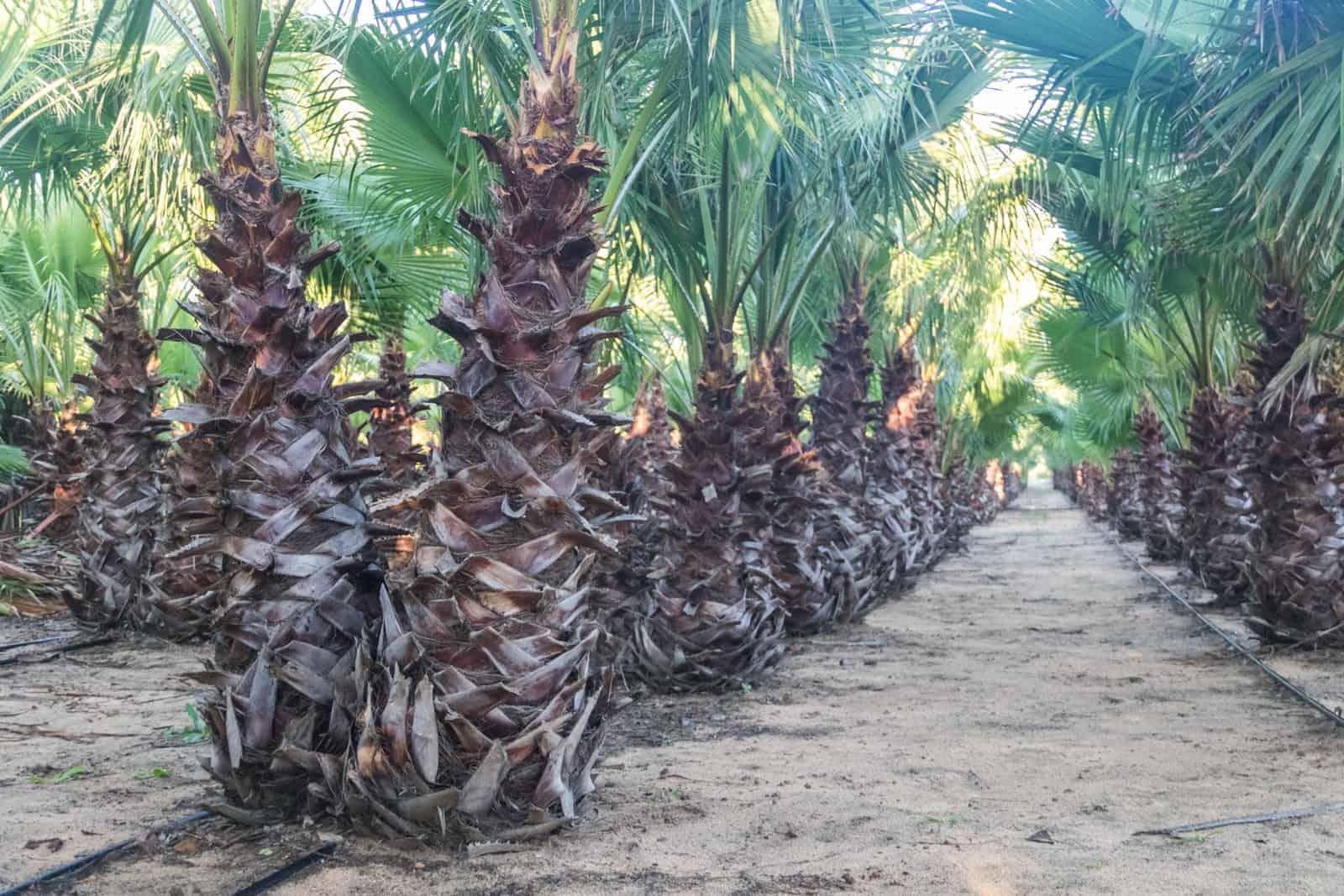 Trees4Sale Washingtonia Palms 14