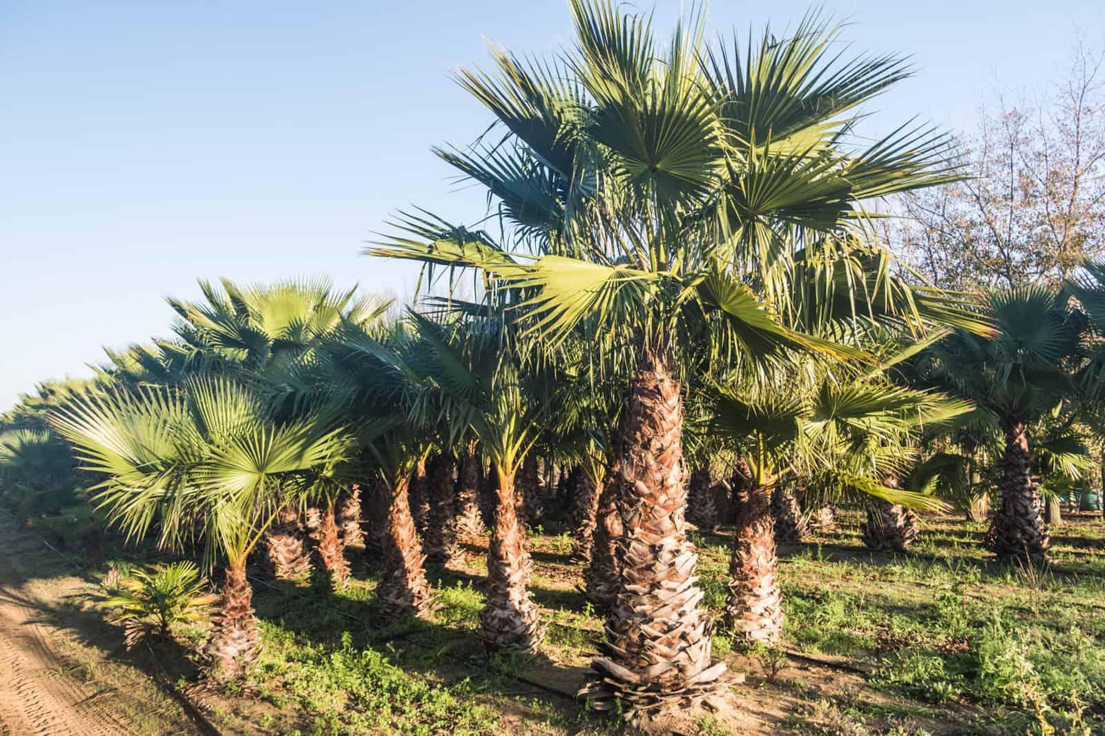 Trees4Sale Washingtonia Palms 18