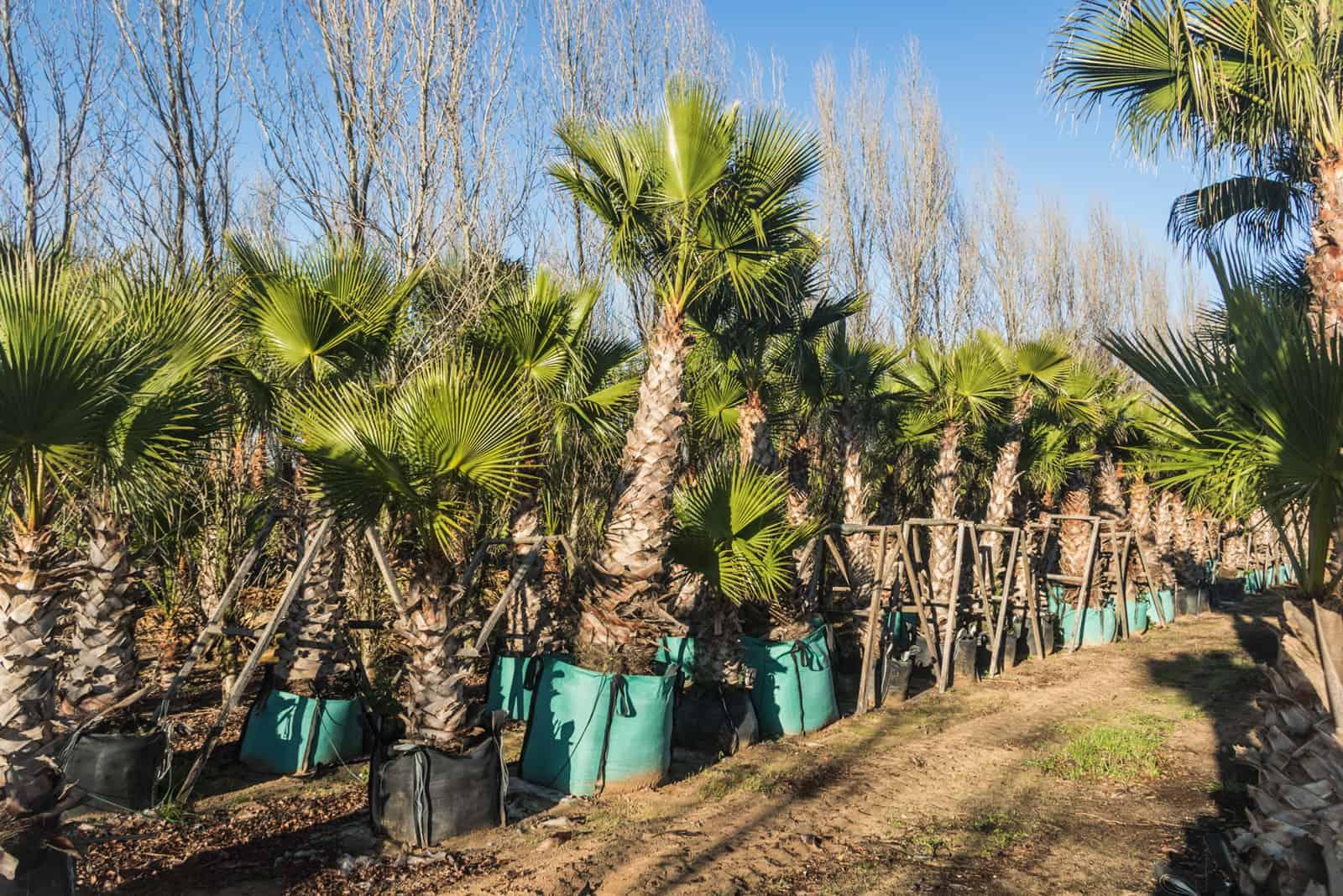 Trees4Sale Washingtonia Palms 29