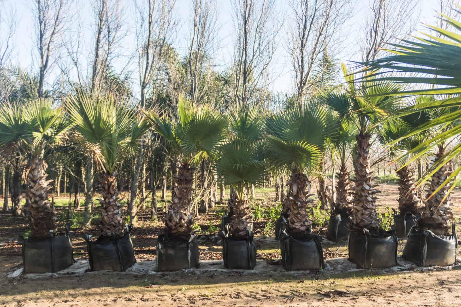 Trees4Sale Washingtonia Palms 33