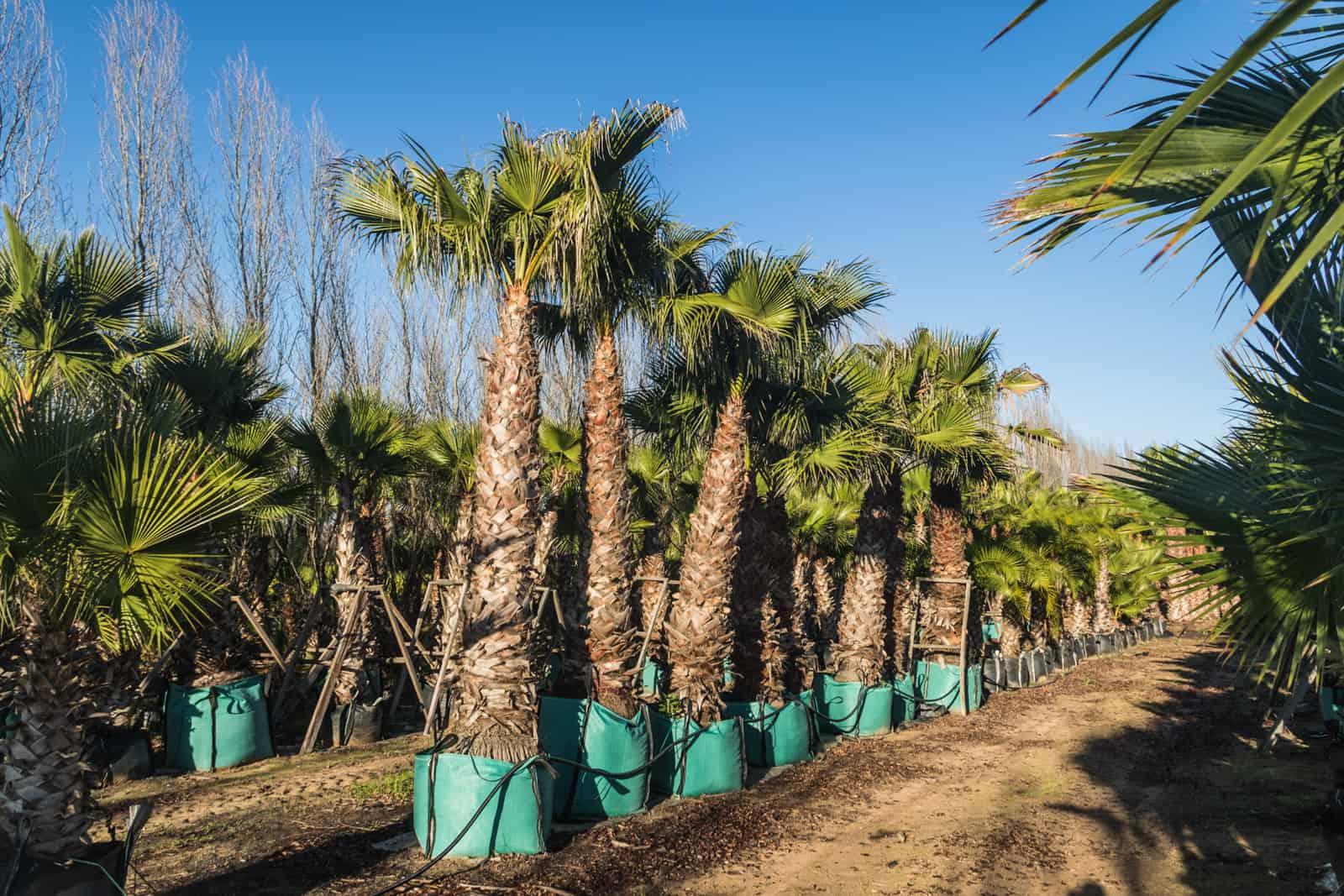 Trees4Sale Washingtonia Palms 35