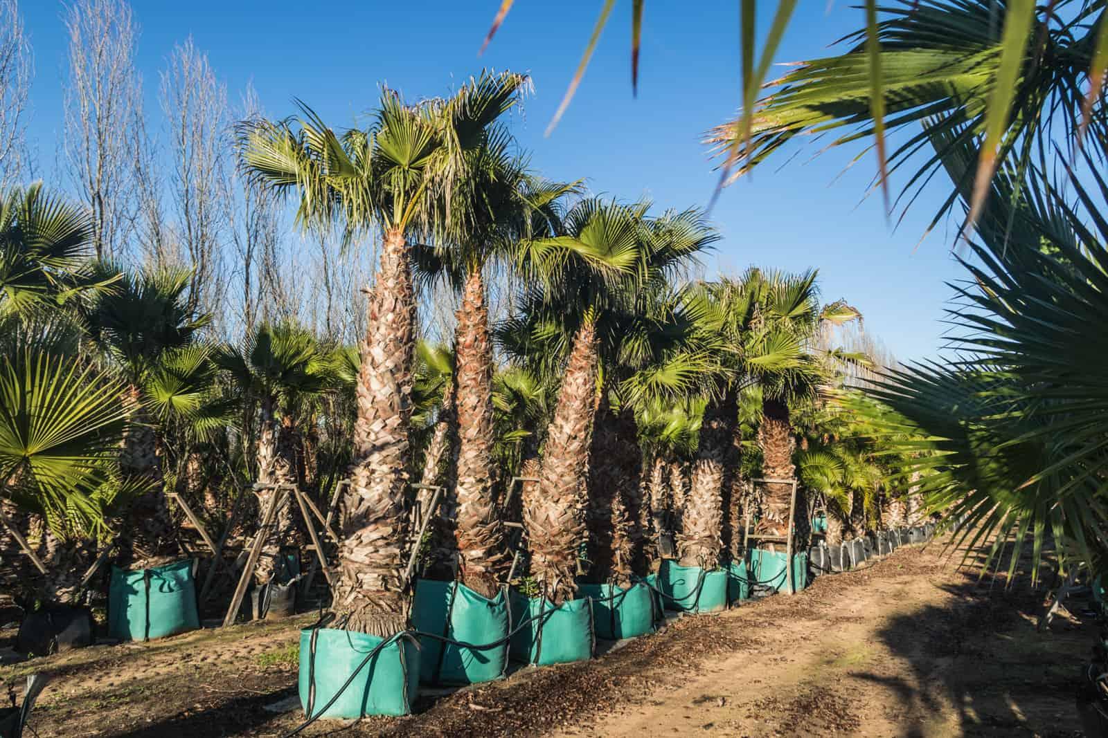 Trees4Sale Washingtonia Palms 36