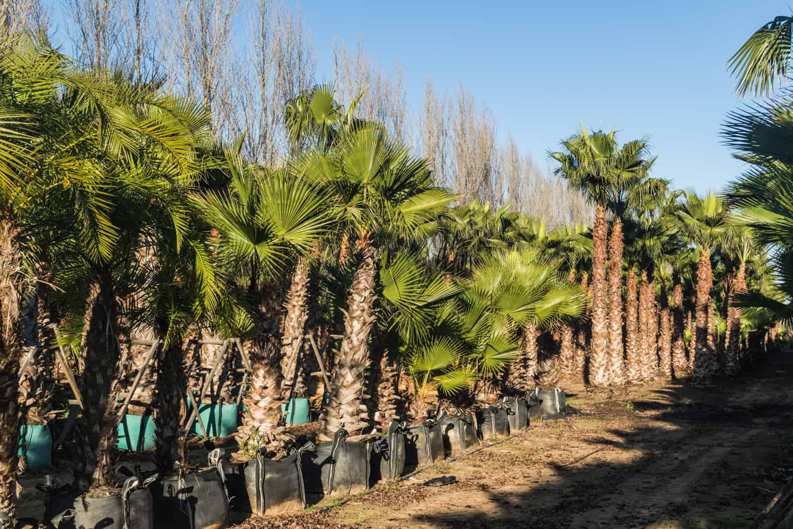 Trees4Sale Washingtonia Palms 39