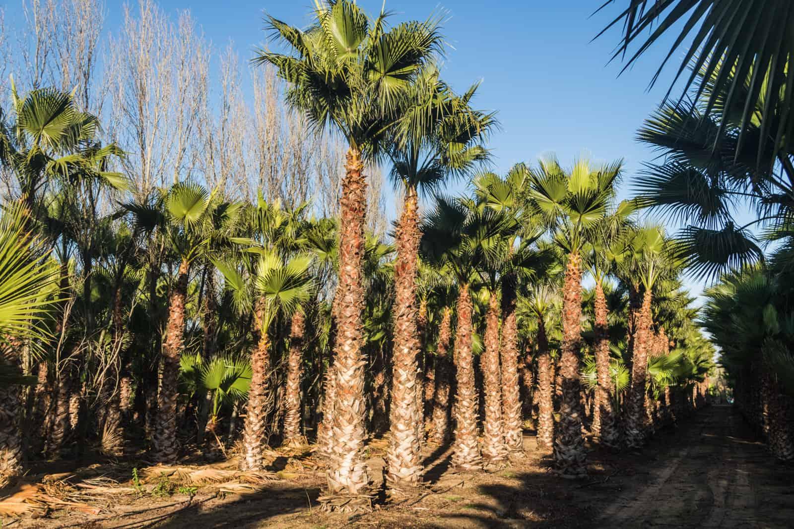 Trees4Sale Washingtonia Palms 40