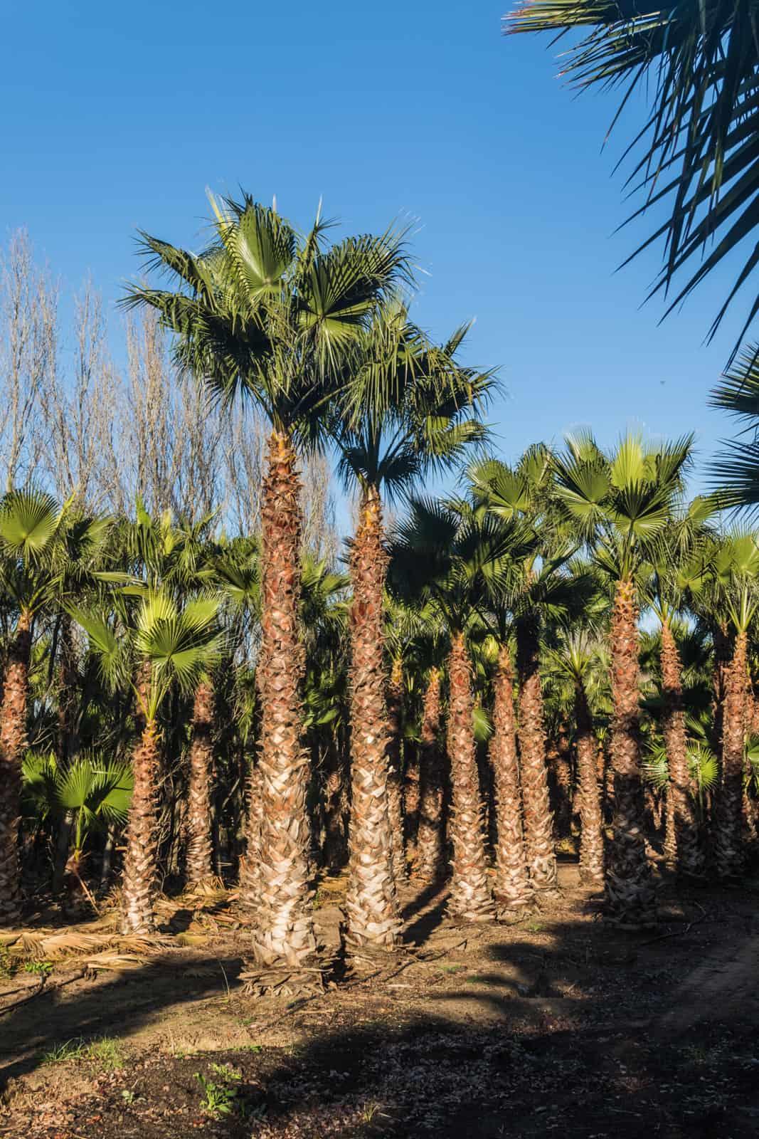 Trees4Sale Washingtonia Palms 42