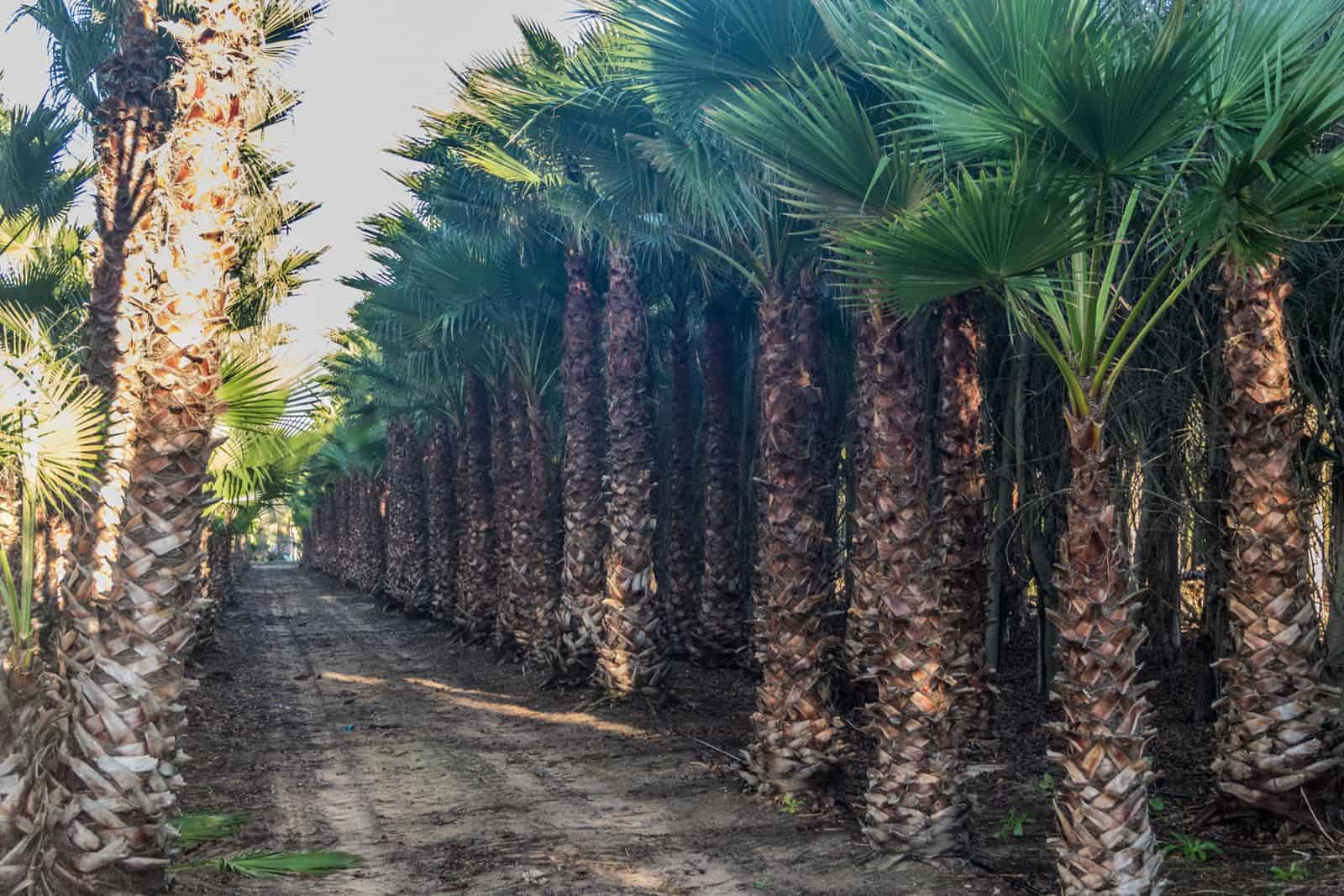 Trees4Sale Washingtonia Palms 43