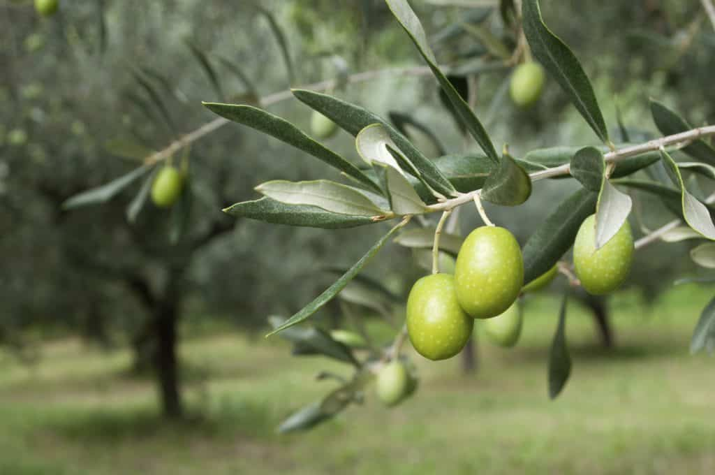 olive tree cover pic 1